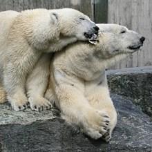 Eisbären im Zoo - © Elvira Mortag / pixelio.de
